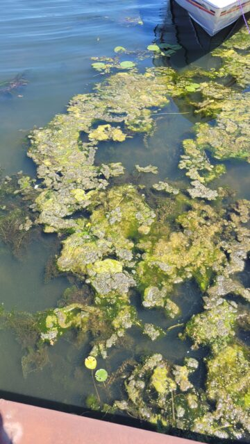 sheltered coves have an accumulation of duckweed and filamentous algae on the surface and dense concentrations of aquatic plants.
