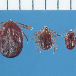 N.Y. health officials warn of new species of tick