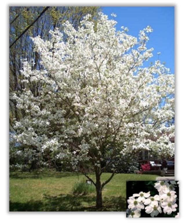 17 White Flowering Dogwood